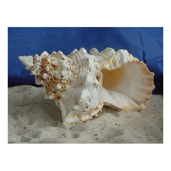 Decoratieve schelp 15 cm